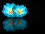 Indian lotus mirror reflection on black background
