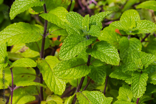 Mint plant growing in the garden