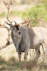 The common eland (Taurotragus oryx) in Masai Mara, Kenya