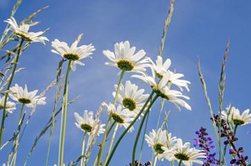 Margeritenwiese im Frühling :)