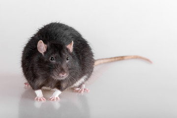 black domestic rat