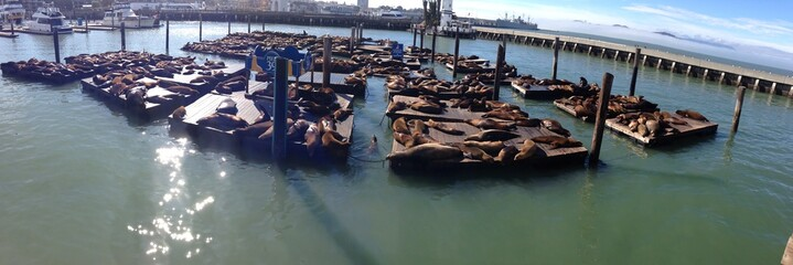 seals at san franciscos harbor