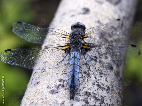 Broad-bodied Chaser (Libellula depressa) male sitting on branch