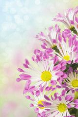 daisies bouquet, white petals with pink tips