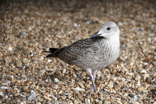 A sea gull standing on a pebble beach