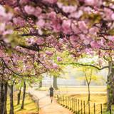 Cherry Blossom Festival. Washington, DC - 61503103