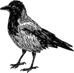 city crow