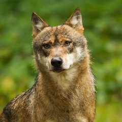 wolf close-up