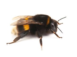 live bumblebee