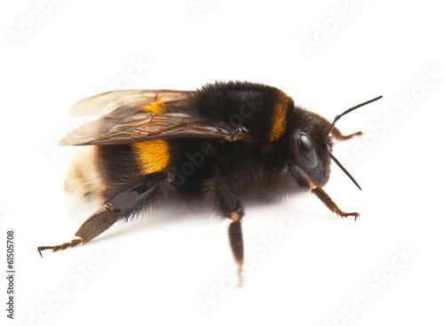 Staande foto Bee live bumblebee