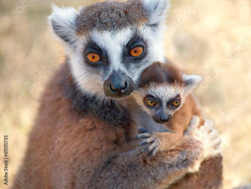 Ring tailed lemur catta
