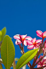 Yellow and pink, flowers on a tree in Koh Ngai island Thailand