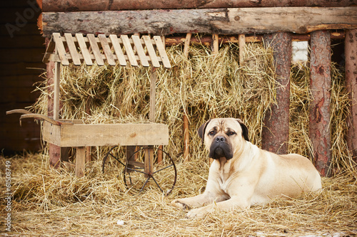 Dog in the farm