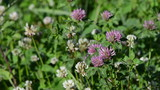 Closeup of dewy white and red clover plants grow in meadow