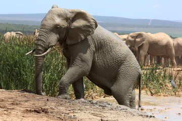 Elephant Climbing out of Mud Bath