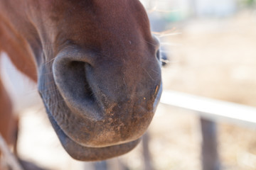 Nose of brown horse