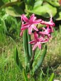 Cultivar hyacinth (Hyacinthus orientalis) flowers  poster
