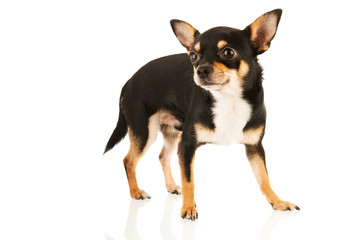 Chihuahua isolated over white background