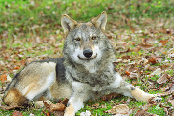 Wolf siting on a lawn and smileing