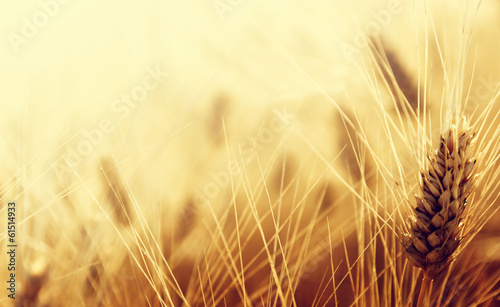 Wheat field - 61514933