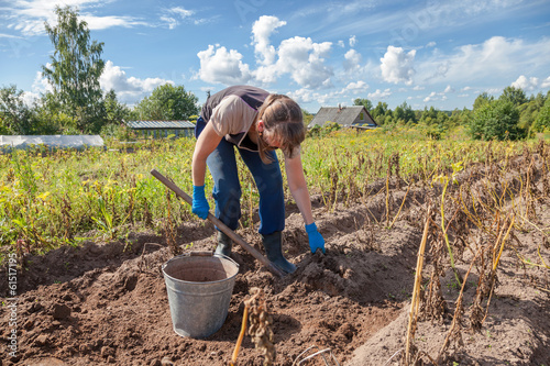 Young woman harvesting potato on the field