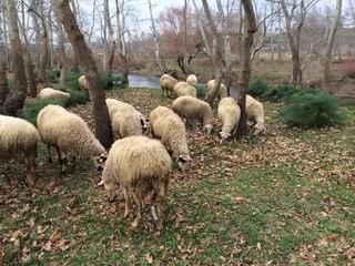 Otlayan Koyunlar