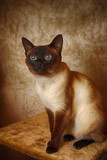 Inquiring look of a sitting siamese cat