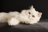 Adorable white male Persian kitten