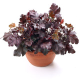 Heuchera Berry Marmolade