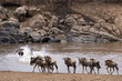 Постер, плакат: Wildebeests crossing Mara River at the time of Great Migration