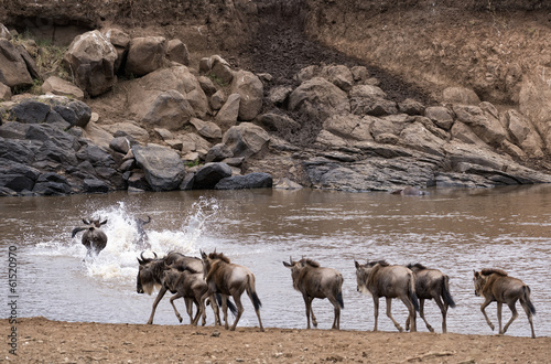 Wildebeests crossing Mara River at the time of Great Migration