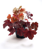 Heuchera Root Beer