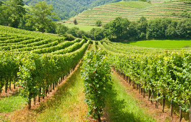 Typical european rows of vineyard