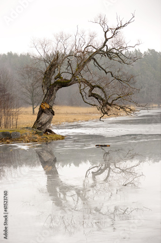 willow tree reflected in ice