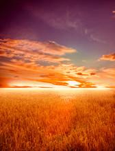 pole pszenicy na zachodzie słońca