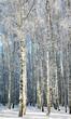 Winter birches in sunlight