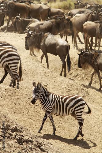 Foto op Plexiglas Zebra Zebra with wildebeests on the Masai Mara in Kenya