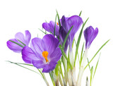 Spring crocus flower background