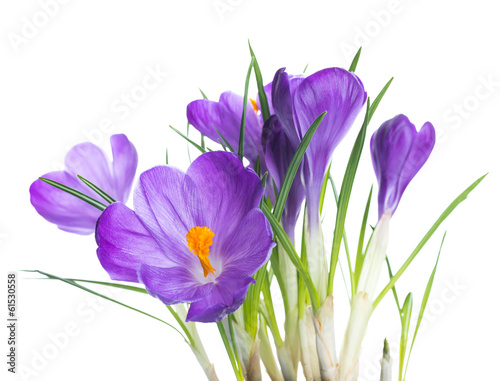 Foto op Plexiglas Krokussen Spring crocus flower background