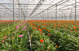 Orange and pink Gerbera cut flowers growing in a Dutch greenhous