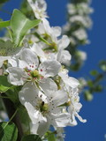 European pear (Pyrus communis) flowers against a blue sky