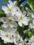 European pear (Pyrus communis) flowers in the spring garden