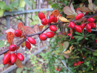 Cultivar Berberis thunbergii ripe berries in the autumn garden