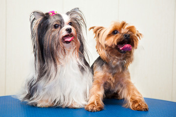 Two Yorkshire terrier - white and brown, adult and young.