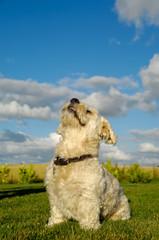 Bichon Havanais dog