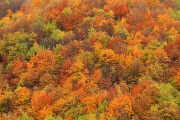 foresta del casentino in autunno colori alberatuture