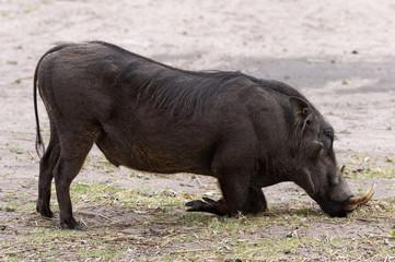Warzenschwein im Moremi Nationalpark, Botswana