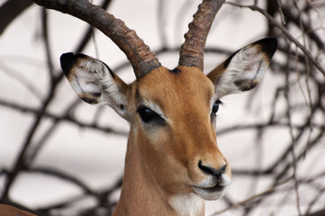 Impala im Chobe Nationalpark, Botswana