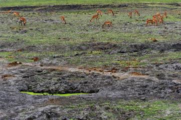 Impalas grasen im Chobe Nationalpark, Botswana