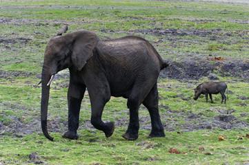 Elefant und Warzenschwein im Chobe-Park, Botswana